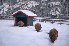 Tierisch-schöner Schnee im Schweinegehege im Landpark Lauenbrück