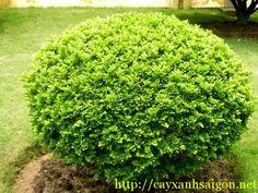 Cây Ngâu hay Ngâu ta có tên khoa học là Aglaia duperreana, là loài cây bụi nhỏ thuộc chi Gội, xuất xứ loài này là từ Việt Nam