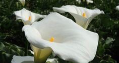 Conheça 12 plantas comuns no Brasil que são tóxicas | Jardim das Ideias STIHL - Dicas de jardinagem e paisagismo