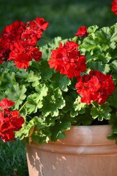Potted geraniums - my mother's favorite flower