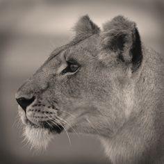 Lion in Masai Mara, Kenya  Photo: Raija H Svensson
