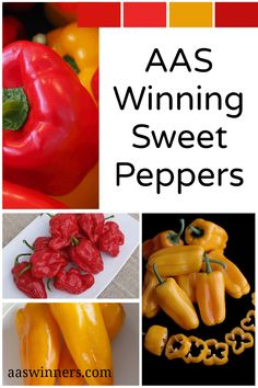AAS Winning Sweet peppers bring a rainbow of colors and a plethora of shapes to the table. It is easy to value them for looks and flavor alone, but sweet peppers are a nutritional powerhouse as well. Easy to grow and so delicious straight from the garden! Cubanelle Pepper, Sweet Cherries, Stuffed Sweet Peppers, Gardening Tips, The Selection, Nutrition, Rainbow, America, Shapes