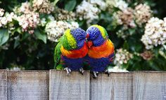 These two Lorikeets could not get close enough..thats LOVE folks :O)   Some folks say God is dead - http://www.sashaslavic.com/
