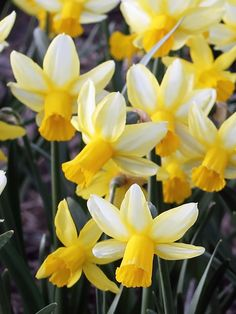 Ivory coloured petals with yellow edges , with a long frilled golden yellow trumpet. Botanical narcissus are perfect for rock gardens or smaller spaces. Delft, Narcissus Bulbs, Spring Flowering Bulbs, British Flowers, Bulb Flowers, Types Of Soil, Spring Garden, Daffodils, Bloom