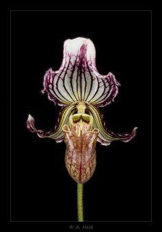 Paphiopedilum fairrieanum 'Elke'