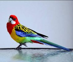 Pretty bird  The eastern rosella is a parrot native to southeast Australia and Tasmania and have been introduced to new zealand.  they are 30cm long and brightly colored bird with red head,white chick and beak,yellow back and abdomen with black marks,and blue tail,the wings have blue feathers too,these birds eat fruits and both sexes look almost same,females are slightly pale —