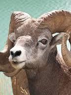 schapen hoorns - Google zoeken