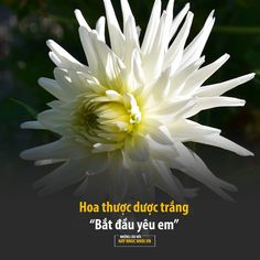 Dahlia is best arranged by mind change …- Hoa thược dược được sắp … – Modern Paper Flowers Diy, All Flowers, Flowers Nature, Beautiful Flowers, Flower Meanings, Color Meanings, Caste Heaven, Flower Quotes, Handsome Anime