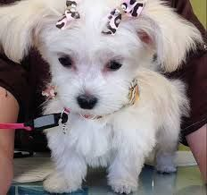 Short Haircuts for Yorkie Dogs Yorkie Dogs, Puppies, Yorkies, Maltese Haircut, Dog Haircuts, St Bernard Dogs, Dog Life, Short Hair Cuts, Best Dogs