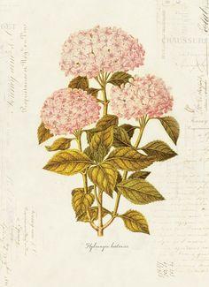 vintage botanical print of hydrangeas 1