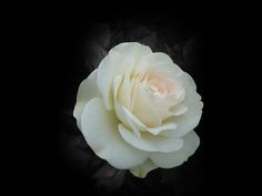 White Rose Hd Free Wallpapers
