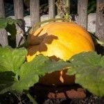 How to start pumpkin seeds indoors