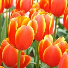 Order your top quality Tulip bulbs here! Bulb Flowers, Red Flowers, Tulip Colors, Bulbous Plants, Dutch Tulip, Tulip Bulbs, Most Beautiful Flowers, Daffodils, Orange Color