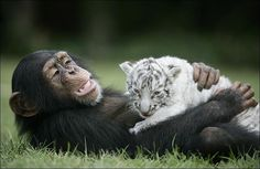 pictures of a chimpanzee playing with two white tiger cubs. The text claims that the cubs were separated from their tiger mother because of Hurricane Hannah and that the chimpanzee has become their surrogate parent. Wild Photography, Photography Guide, Wildlife Photography, Animal Photography, Wedding Photography, Unlikely Animal Friends, Funny Animals, Cute Animals, Wild Animals