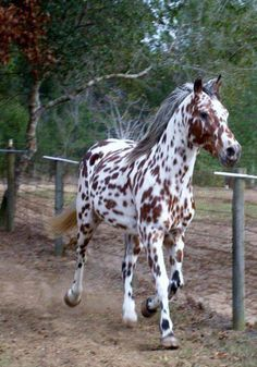 The Appaloosa is a horse breed best known for its colorful leopard-spotted coat pattern. There is a wide range of body types within the breed, stemming from the influence of multiple breeds of horses throughout its history.