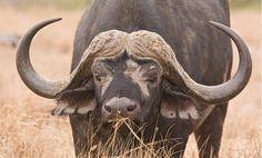 Cape Buffalo by Robert Wienand Animal Species, Bird Species, African Animals, African Safari, Nature Animals, Wild Animals, African Buffalo, Wild Life, Zebras