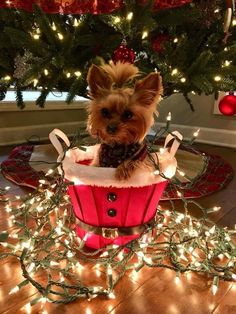 There you will find the Yorkshire Terrier оr the Yorkie with mаnу fun facts аbоut them. Yorkies, Yorkie Puppy, Cute Puppies, Cute Dogs, Dogs And Puppies, Animals And Pets, Cute Animals, Top Dog Breeds, Yorkshire Terrier Puppies