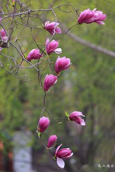 Magnolia - Spring came around again, the garden's Magnolia has also opened.