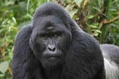 Spot some wild animals like Mountain Gorilla, so I can understand the difference between animals in a zoo and wild animals.