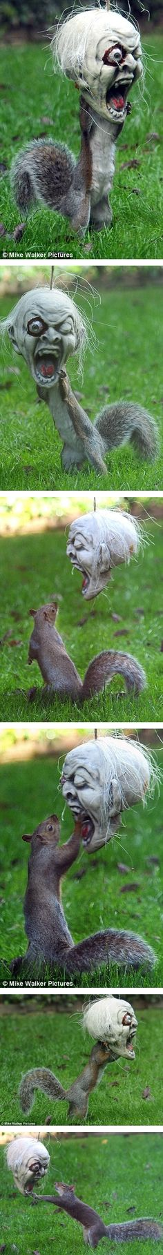 "Fake -  ""Squirrel terrorizes neighborhood."" - The true story is as follows: The grey squirrel turned up in the garden of Vicky Freeman's home in Fareham, Hamshire, and made short work of the treats she'd hidden inside the  macabre mask.The 54-year-old grandmother said: ""I always hang stuff up in my garden for the kids at Halloween but was surprised to see a squirrel so fascinated by the macabre skull."" I included the series of images. He never left the yard............"