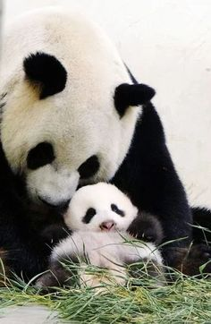 This photograph released by the Taipei City Zoo shows giant panda Yuan Yuan (L) holding her baby panda, Yuan Zai (bottom), at the Taipei City Zoo. The cub, the first panda born in Taiwan, was delivered on July 7 Cute Baby Animals, Animals And Pets, Funny Animals, Small Animals, Wild Animals, Panda Love, Cute Panda, Big Panda, Beautiful Creatures