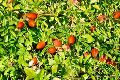 Plody šípku pomáhají při paradentóze a onemocnění dásní, revmatismu, mají antioxidační účinky.