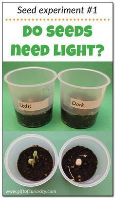 "wk 16 Teach kids about the needs of seeds with this seed experiment that answers the question: ""Do seeds need light to grow?"" Part 1 in a series of seed experiments from Gift of Curiosity Seed Experiments For Kids, Plant Experiments, Plant Science, Science Activities For Kids, Kindergarten Science, Science Fair Projects, Elementary Science, Science Lessons, Teaching Science"