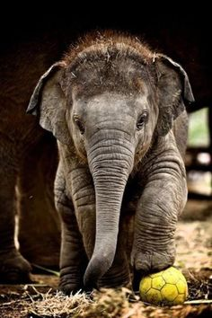 Baby elephant - love this Animals baby Animals Cute Creatures, Beautiful Creatures, Animals Beautiful, Majestic Animals, Beautiful Eyes, Cute Baby Animals, Animals And Pets, Funny Animals, Wild Animals