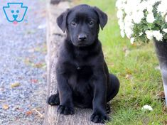 black lab puppies names ~ puppies black lab ` puppies black labrador ` black lab puppies names ` black lab puppies training ` black lab puppies cute ` labrador retriever puppies black ` black lab puppies 8 weeks ` english black lab puppies Black Puppy, Black Lab Puppies, Boxer Puppies, Puppies Puppies, Retriever Puppies, Labrador Retrievers, Cute Small Dogs, Puppy Names, Baby Dogs