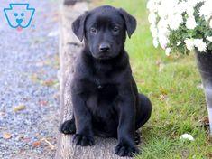 black lab puppies names ~ puppies black lab ` puppies black labrador ` black lab puppies names ` black lab puppies training ` black lab puppies cute ` labrador retriever puppies black ` black lab puppies 8 weeks ` english black lab puppies Black Puppy, Black Lab Puppies, Boxer Puppies, Puppies For Sale, Dogs And Puppies, Puppies Puppies, Retriever Puppies, Labrador Retrievers, Cute Small Dogs