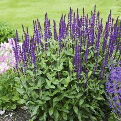 Caradonna' is a beautiful Old World sage with tall, very dark purple flower stems and stunning blue-violet flowers. The plant has a strong vertical habit and is a superb nectar source for honeybees. Dark Purple Flowers, Tall Flowers, Deep Purple, Purple Sage, Salvia, Flower Garden Plans, Garden Ideas, Garden Tips, High Country Gardens