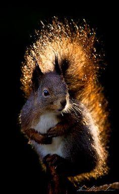 Squirrel in backlight Nature Animals, Animals And Pets, Baby Animals, Funny Animals, Cute Animals, Wild Animals, Beautiful Creatures, Animals Beautiful, Cute Squirrel