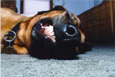 Pearly whites :) Most Beautiful Dogs, At Least, Puppies, Animals, Animaux, Animal, Animales, Puppys, Baby Puppies