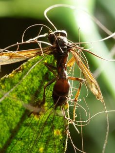 """Ants aren't the only zombie-fungi hosts—other insects also fall prey. Above, a wasp is infected by a Cordyceps fungus species that hasn't yet been named or formally documented. Fungi of the Cordyceps genus are the products of a tightly evolved arms race between hosts and parasites, study author Hughes noted. The fungi are locked into one type of host—a specialization that might spell doom for fungi species as host species die out.    (See """"Parasitic Wasp Swarm Unleashed to Fight Pests."""")"""