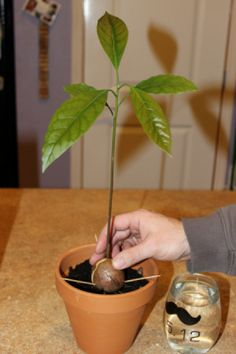If you were lucky enough to have your avocado seed sprout, then you will now need to plant it. Choose a pot that is big enough that you won't have to repot it right away.