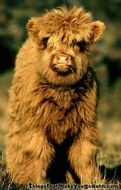 "A highland ""coo"" calf or a chow chow, you decide - (No, it really is an adorably fluffy calf)"