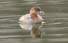 Pied-billed Grebes swim happily on the water.... Butterfly On My Shoulder - Photography and Design - Chilliwack, BC, Canada