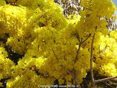 Venezuela National Tree   ... popularity, this tree is the national tree of Brazil and Venezuela