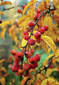 Malus 'Evereste', Crab apple - Google Search - A handsome and easy to grow little tree with masses or pale pink and white flowers in spring followed in autumn by clusters of edible, yellow - red, long lasting fruit.