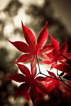 ♂ beautiful nature bokeh photography red Japanese Maple leaves