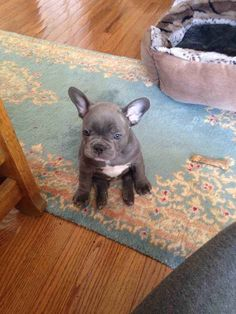 This French bulldog pup who hasn't grown into her ears yet. 42 most important puppies - Buzzfeed