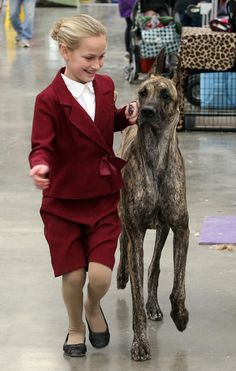 Dog handler Emma Rogers of Mansfield, NJ, works with Becky, a great dane, prior to showing in the ring. The annual Boardwalk Kennel Club dog show is taking place at the Wildwood Convention Center. Thursday Jan (Dale Gerhard/Press of Atlantic City) Akc Dog Shows, Westminster Dog Show, Whippet, Dog Grooming, Dog Breeds, English Setters, Cute Animals, Puppies, Horses