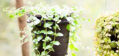 De folhas miúdas e delicadas, a dinheiro-em-penca é um poderoso ímã para dinheiro e prosperidade. Faça 3 simpatias com a planta e surpreenda-se!
