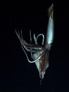 Giant squid. Squid genes crack secrets of the 'Kraken'
