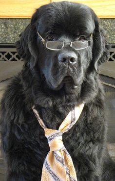 Cracks me up! Big Dogs, Dogs And Puppies, Newfoundland Dogs, San Bernardo, Old Gas Stations, Cattle, Pigs, Peter Pan, Labrador Retriever