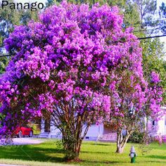 Purple Crepe Myrtle(Lagerstroemia indica 'Purpurea') is a very hardy and drought tolerant plant. The Purple Crepe Myrtle gets its name from the beauti Diy Garden, Garden Trees, Dream Garden, Garden Plants, Garden Spaces, Flowering Trees, Trees And Shrubs, Trees To Plant, Garden Art