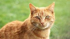 Kissa, Punatukkainen, Kollikissa