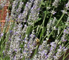 Bees in the lavender at the Shirley Plantation on the James River in Virginia