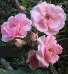 Bonica roses for a summer garden