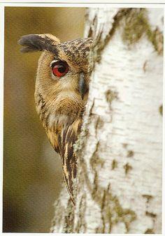 }{     Owl